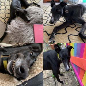 Six months with our rescue greyhound Reggie - a mosaic of 4 photos showing how cute he is